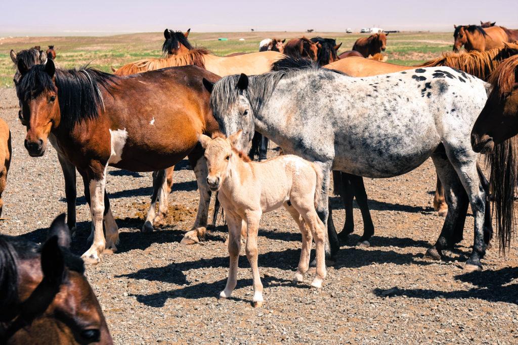 Pferder in der Wüste Gobi